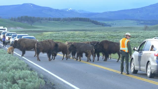 Park ranger directing traffic disturbed by bisons crossing the road
