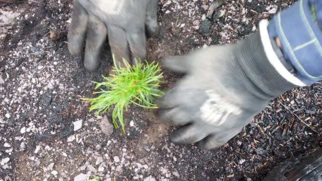 s park service native plant restoration program nursery crew lead levi besaw uses his hoedad tool to plant a whitebark pine seedling in ground... - glacier national park us stock videos and b-roll footage