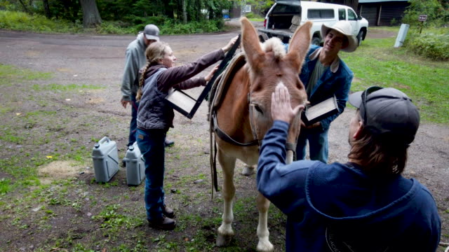 s park service native plants nursery crew lead levi besaw calms a mule as animal packers jill michalak and and jacob ellis load the animal with gear... - glacier national park us stock videos and b-roll footage