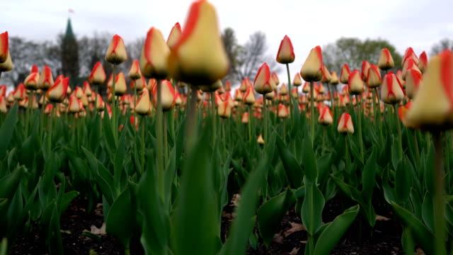 vídeos y material grabado en eventos de stock de los edificios del parlamento y la hilera de tulipanes rosas - colina del parlamento ottawa