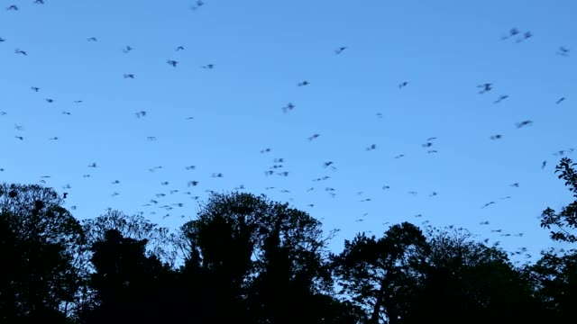 a parliament of rooks flying and swirling over the treetops where they have their nests - bird stock videos & royalty-free footage