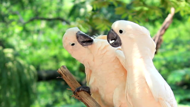 Parrot bird couple,falling in love