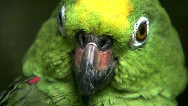 a parrot blinks as it stares. - blinking stock videos & royalty-free footage