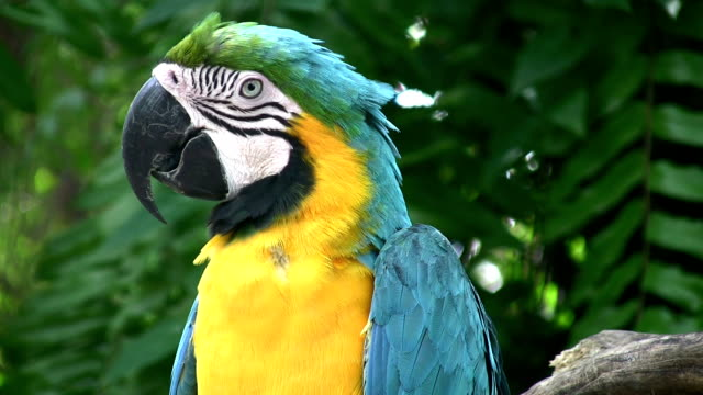 Papagaio azul e amarelo, Ara ararauna Arara