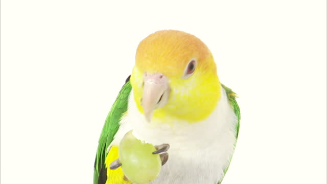 a parrot eats a grape. - klaue stock-videos und b-roll-filmmaterial