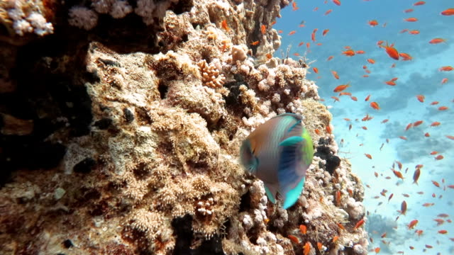 Parrot Fish and School of Anthias Fishes in Coral Reef