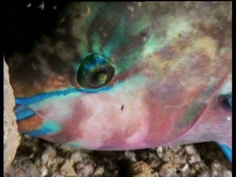 BCU Parrot fish eye zoom out to mucous nest