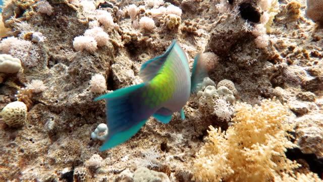 vídeos y material grabado en eventos de stock de peces loro en arrecife de coral - mar rojo