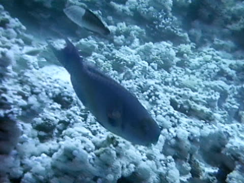 parrot fish swimming over coral reef. - ブダイ点の映像素材/bロール