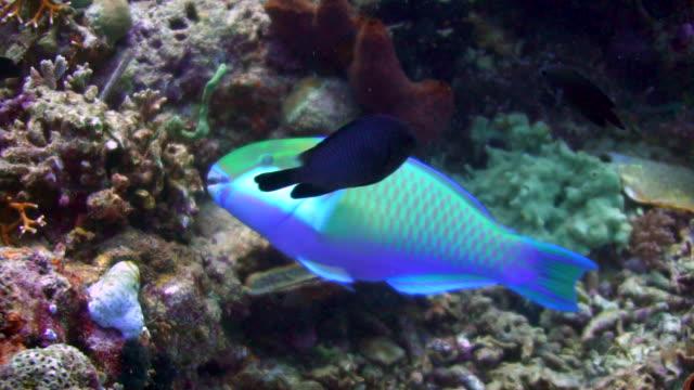 vídeos de stock, filmes e b-roll de parrot fish - peixe tropical