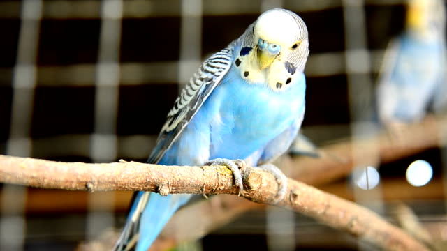 parrot in a cage - budgerigar stock videos & royalty-free footage