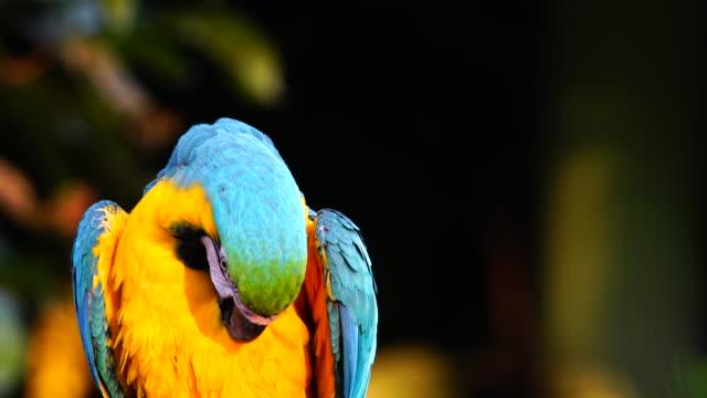 木の上の4k オウムコンゴウインコ - 動物の翼点の映像素材/bロール