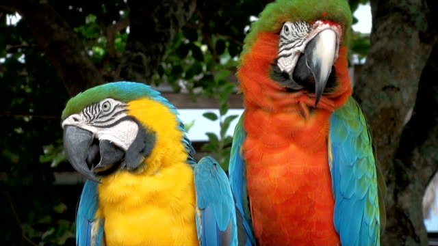 parrot macaw - amazonas state brazil stock videos and b-roll footage