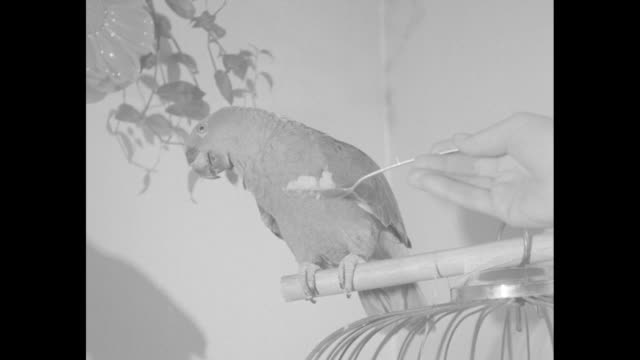 Parrot on perch hand holding spoon with food parrot takes taste then turns head away / parrot holding spoon in claw and eating food / closer view...
