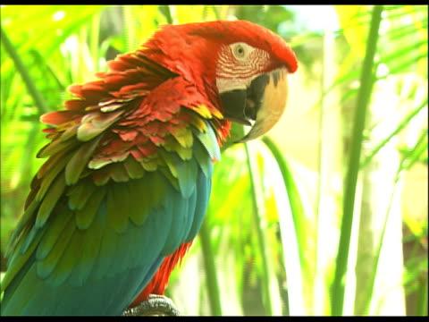 parrot preening - preening stock videos & royalty-free footage