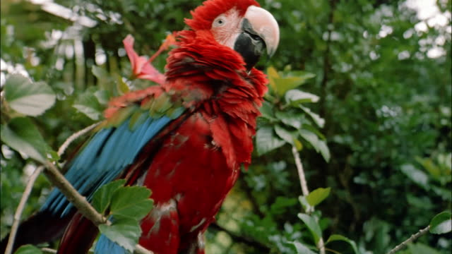 cu parrot sitting on tree - scarlet macaw stock videos and b-roll footage