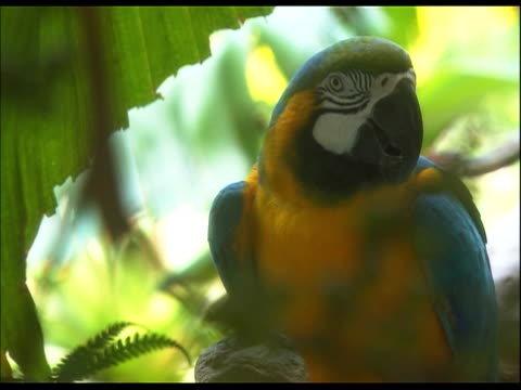 parrot, swaying back and forth - dreiviertelansicht stock-videos und b-roll-filmmaterial