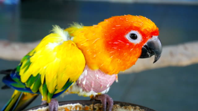 vídeos de stock e filmes b-roll de parrot - bico