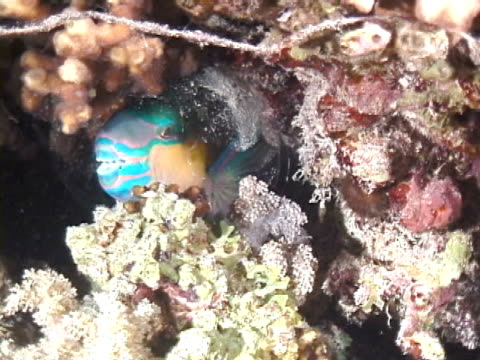 Parrotfish asleep in Cocoon Mucus