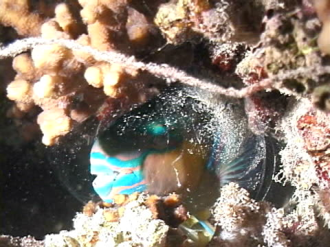parrotfish asleep in cocoon mucus - parrotfish stock videos & royalty-free footage