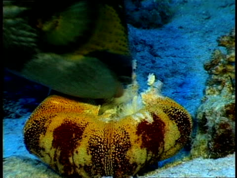 cu parrotfish eating sea urchin - aquatic organism stock videos & royalty-free footage