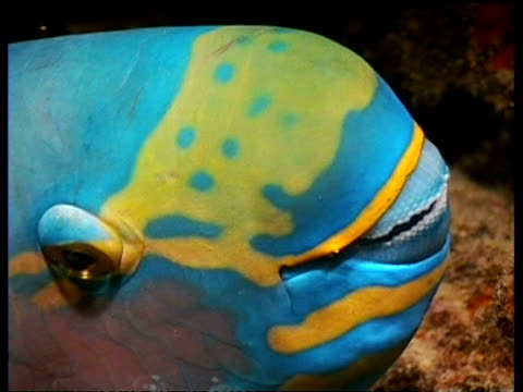vidéos et rushes de parrotfish, cu head zooms out to parrotfish resting at night under ledge, sabah, borneo, malaysia - organisme aquatique