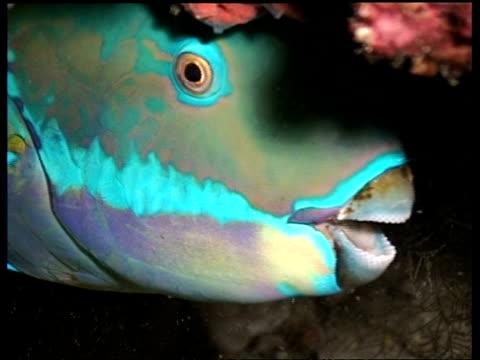 cu parrotfish, hiding in reef, sangalaki, celebes sea, indonesia - parrotfish stock videos & royalty-free footage