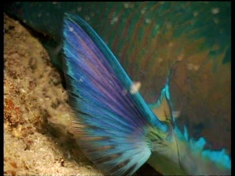 vidéos et rushes de parrotfish, cu pectoral fin, zoom out to parrotfish resting on reef, mabul, borneo, malaysia - organisme aquatique