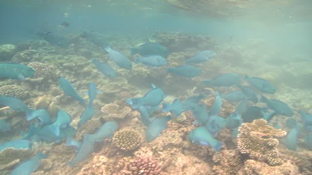 parrotfish (unidentified species - possibly scarus viridifucatus) school attacking reef. feeding behaviour, maldives  - parrotfish stock videos & royalty-free footage