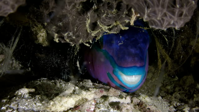 parrotfish sleeping in the bubble made of mucus - mucus stock videos & royalty-free footage