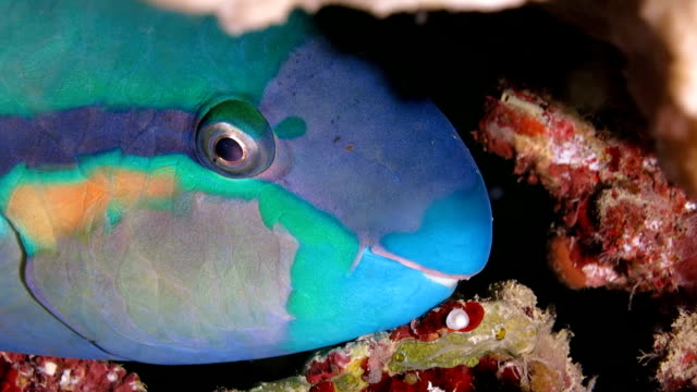 parrotfish sleeping in the hole - parrotfish stock videos & royalty-free footage