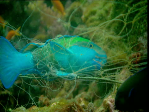 vídeos y material grabado en eventos de stock de parrotfish struggles in net caught on coral reef, phuket - mar de andamán