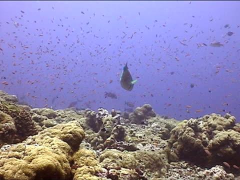 vidéos et rushes de ms, pan, parrotfish swimming in coral reef, new britain island, papua new guinea - groupe moyen d'animaux