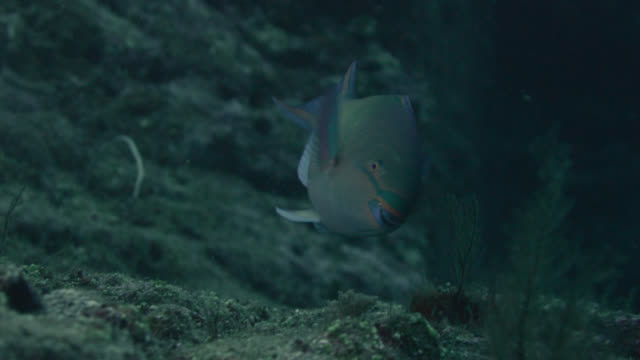 parrotfish (scarus species) swims over sea bed. japan - ブダイ点の映像素材/bロール