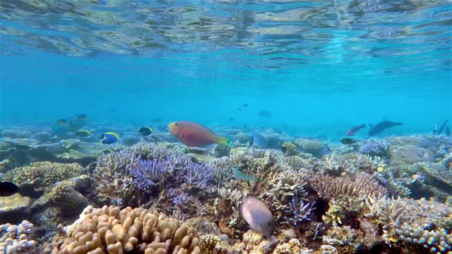 parrotfishes and surgeonfishes on shallow coral reef / maldives - ari atoll stock videos & royalty-free footage