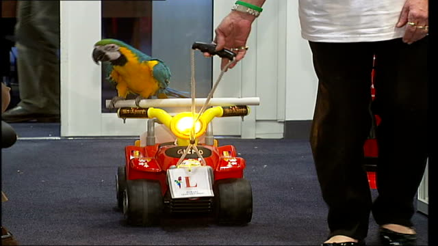 Parrots audition for part in next 'Pirates of the Caribbean' film Woman pulling parrot along on toy car