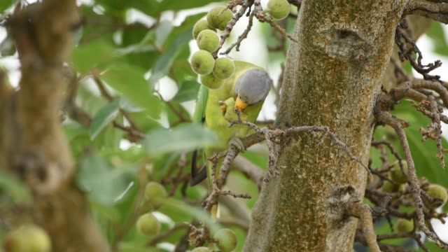 vídeos de stock e filmes b-roll de parrots eating tree fruit in forest - boca de animal