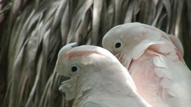 Parrots pair 3 - HD 60i