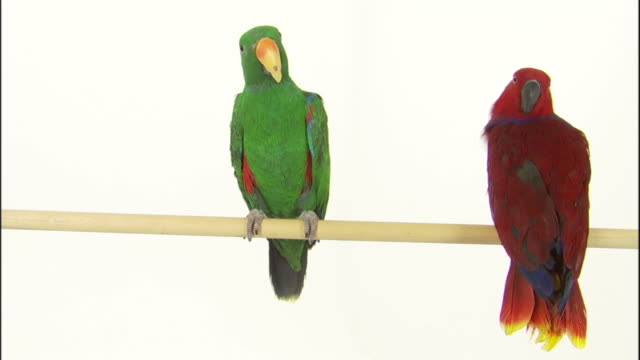 parrots perch on a dowel. - parrot stock videos & royalty-free footage