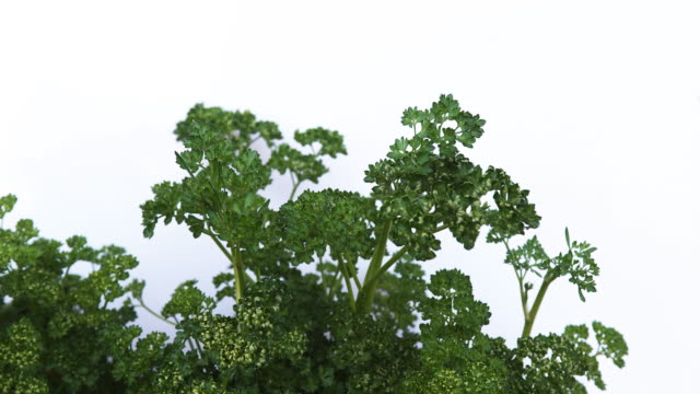 parsley, petroselinum crispum, normandy, real time 4k - parsley stock videos and b-roll footage