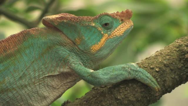 CU, TS, Parson's chameleon (Calumma parsonii) climbing up branch, Toamasina Province, Madagascar
