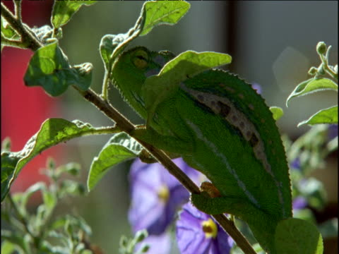 parson's chameleon looks around in bush as person walks past, south africa - tarnung stock-videos und b-roll-filmmaterial