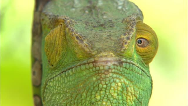 vídeos de stock, filmes e b-roll de parson's chameleon on the tree - olhando ao redor