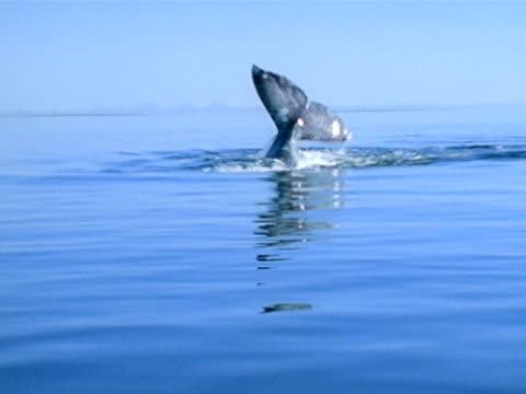 part of gray whale body side exposed from water partial fluke exposed slo mo ws gray whale swimming down frame lobtailing raising fluke amp hitting... - animal body part点の映像素材/bロール