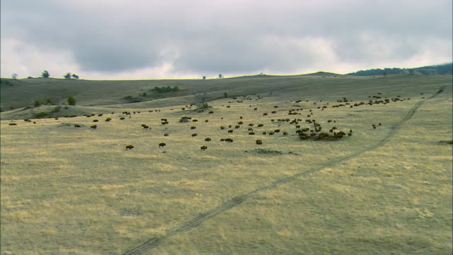 vidéos et rushes de partial orbit aerial shot of a herd of bison at a waterhole on rolling grassland near bozeman, mt - bozeman