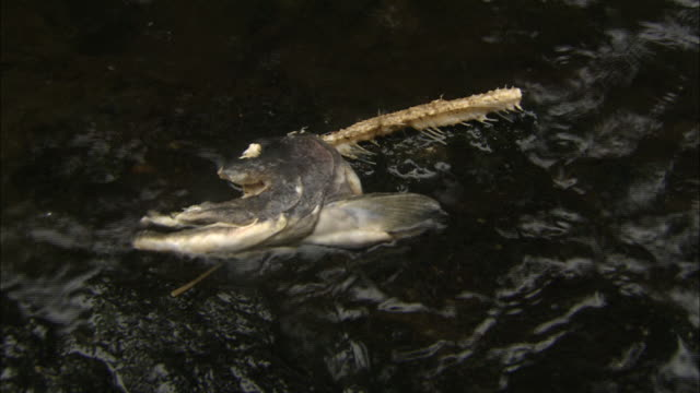 a partial salmon head washes onto a riverbank. - dead animal stock videos & royalty-free footage