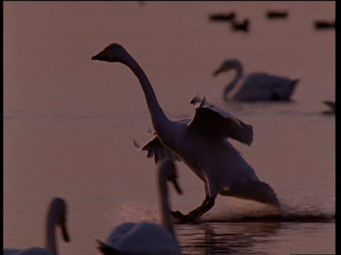 partial silhouette of bewick's swan as it lands gracefully on water at sunset - cigno video stock e b–roll