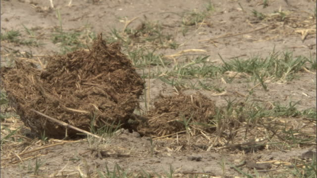 Partially digested grass pokes out from a piece of elephant dung. Available in HD.
