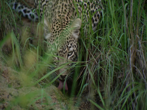 partially obscured by long grass, a leopard (panthera pardus) in mala mala, south africa is hunched over a stream, drinking, eyes fixed on the camera. - großwild stock-videos und b-roll-filmmaterial