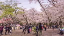 Party at Public Park,Sakura Festival